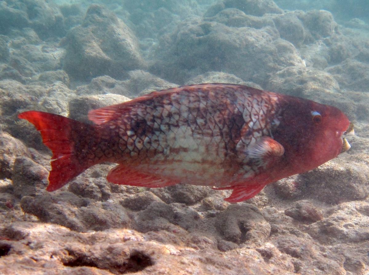 Redlip Parrotfish - Initial Phase - Scarus rubroviolaceus ...
