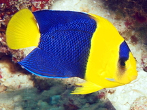 Bicolor angelfish - Centropyge bicolor