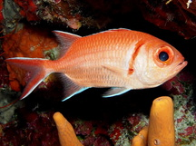 Blackbar Soldierfish - Myripristis jacobus