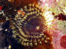 Brown Fanworm - Notaulax nudicollis