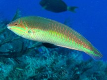 Clown wrasse - Halichoeres maculipinna