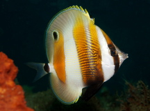 Orange-Banded Coralfish - Coradion chrysozonus