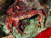 Blackpoint Sculling Crab - Cronious ruber