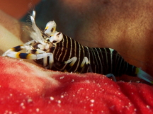 Striped Bumblebee Shrimp - Gnathophyllum americanum