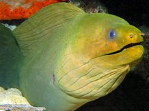 Green Moray Eel - Gymnothorax funebris