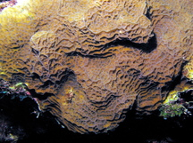 Lettuce Coral - Agaricia agaricities f. agaricities
