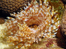 Magnificent Feather Duster - Sabellastarte magnifica