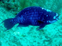 Midnight Parrotfish - Scarus coelestinus