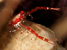 Common Squat Lobster - Munida pusilla