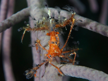 Shortfinger Neck Crab - Podochela sidneyi