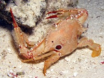 Ocellate Swimming Crab - Achelous sebae