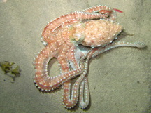 Atlantic White-Spotted Octopus - Octopus macropus