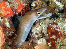 Purplemouth Moray Eel - Gymnothorax vicinus