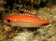 Reef Squirrelfish - Sargocentron coruscum