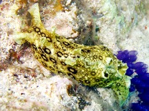 Spotted Sea Hare - Aplysia dactylomela