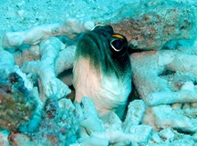 Yellowbarred Jawfish - Opistognathus sp. 1