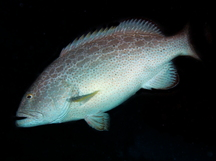 Yellowfin Grouper - Mycteroperca venenosa