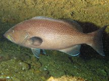 Yellowmouth Grouper - Mycteroperca interstitialis