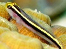 Yellownose Goby - Elacatinus randalli
