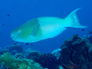 Redlip Parrotfish - Scarus rubroviolaceus - Parrotfishes ...